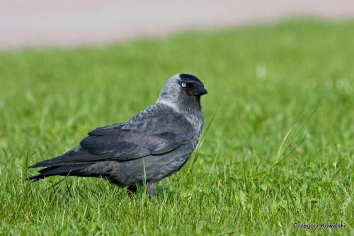 Kawka #kawka #ptak #natura #przyroda