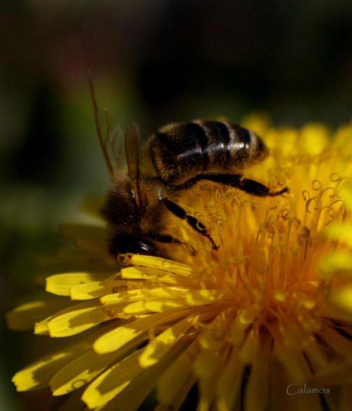 Nurkowanie w poszukiwaniu nektaru