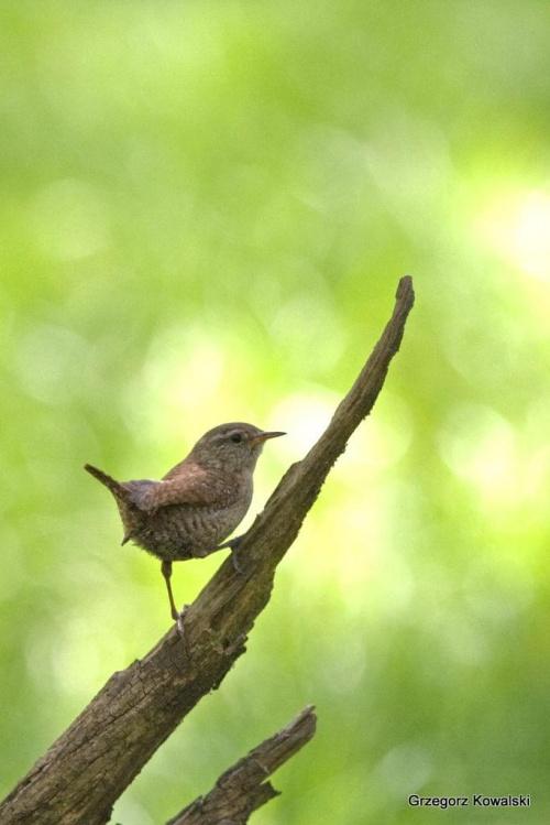 Strzyżyk #Strzyżyk #ptak #przyroda #natura
