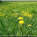 zamleczona łąka:) #łąka #natura #mlecz #maj