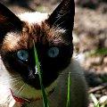 #Kot #zwierze #niebieskie #oczy #trawa