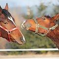 no daj buziaka #fauna #konie #koń #zwierze