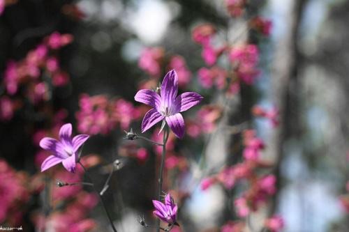 #kwiat #kwiaty #DzwonekRozpierzchły