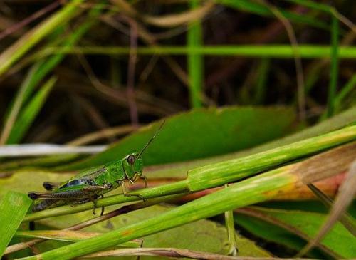 #KonikPolny #łąka #owad #zielony #liście #trawy