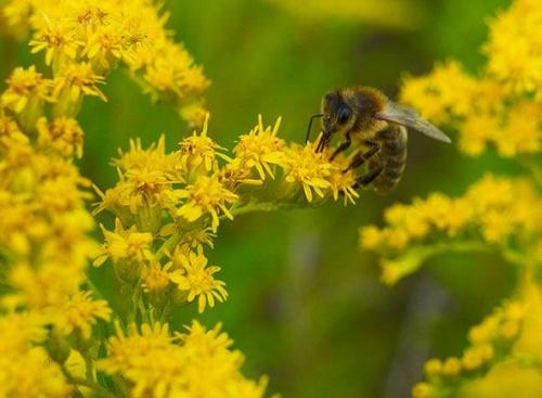 #Pszczoła #ŻółteKwiaty #makro #lato