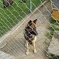 wyrośnięta Melcia. Ma dopiero rok. #melka #melcia #pies #dog #piesek #owczarek #niemiecki #OwczarekIemecki #rok #suka #suczka #doggie #psiur #wilk #BarwaWilczasta