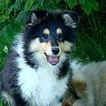 #collie #dog #pies #szczenię