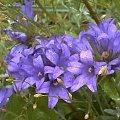 #kwiat #fiolet