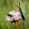 """spotkanie """"błyszczących"""" #owad #motyl #chrząszcz #makro #łąka #lato"""