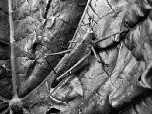 na liściu #przyroda #świerszcz
