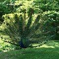 Paw w Łazienkach Królewskich #paw #ptak #ŁazienkiKrólewskie #warszawa #park