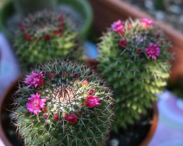 #KaktusMammilaria