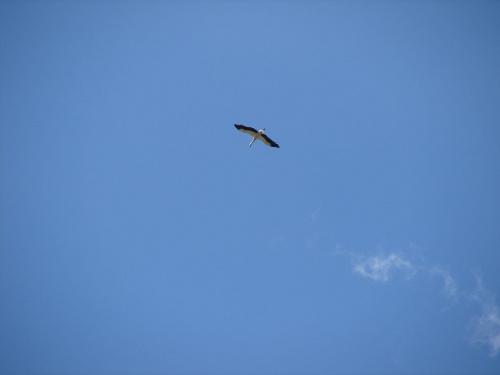 Szybowanie #Ptaki #bocian #bociek #lot #WLocie #niebo #błękit #BłękitneNiebo #warmia