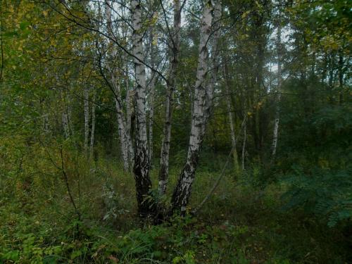 moje okolice #drzewa #las #natura #przyroda #rośliny