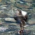 kaczucha #ptak #kaczka #woda #przyroda