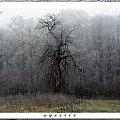 spectre #jabłoń #stara #spectre #Bujały #drzewo