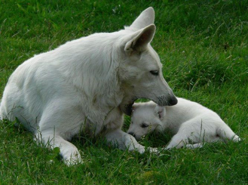 LUBA Białe Wzgórza, Bialy owczarek szwajcarski #BiałyOwczarekSzwajcarski #hodowla #pies #psy