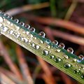 W rzędzie. #klople #rosa #woda #trawa