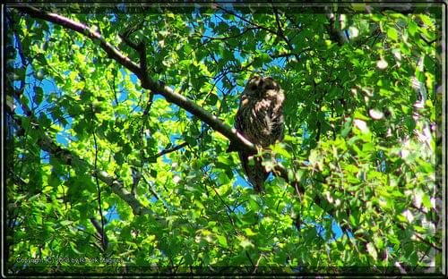 Puszczyk (Strix aluco) #puszczyk #strix #aluco #StrixAluco #sowa #ptak