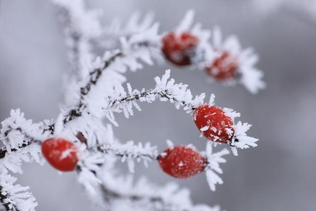 zimowe mrożonki... :D a no i serdecznie Zapraszam...http://www.facebook.com/pages/Kamil-Kasprzak-Fotografia/589255481101158?ref=hl #liść #macro #mróz #owoc #róża #szron #zima