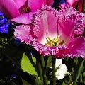 Z Najlepszymi zyczeniami dla wszystkich Kobiet... :) #tulipan #kwiat #evasaltarski