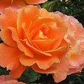 #ogród #rośliny #kwiaty #kwiat #róża #rosa #róże #westerland