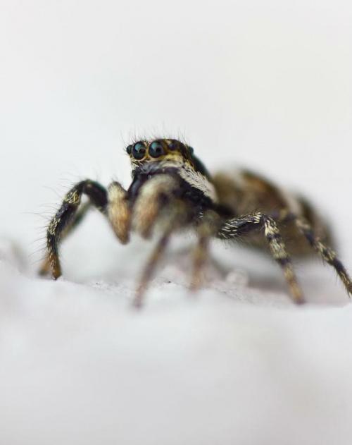 mój pierwszy... #macro #makro #pająk #pajęczaki #skakun