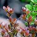 berberys #krzewy #wiosna #berberys
