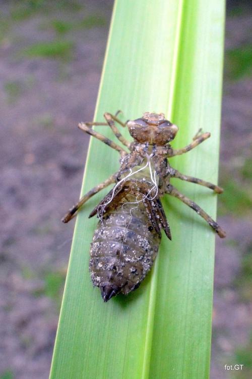 Ważka odleciała i została tylko łuska po larwie z której się wykluła.