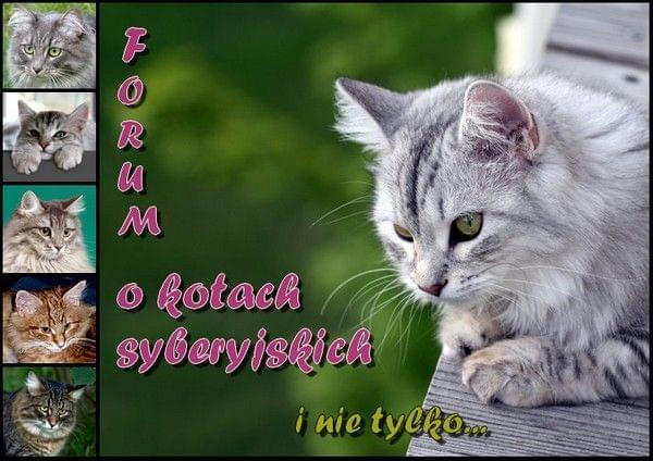Forum Forum poświęcone kotom syberyjskim i nie tylko Strona Główna
