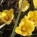 Krokusy :) #kwiaty #krorusy #natura #wiosna