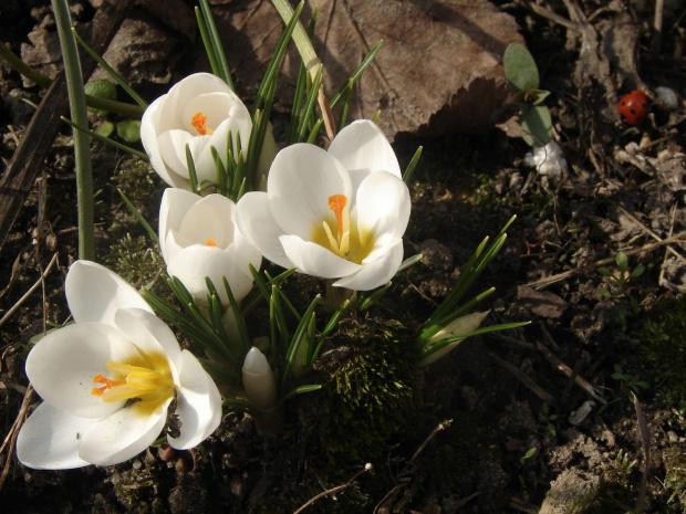 Krosusy i biedronka ... #biedronka #owady #kwiaty #krorusy #natura #wiosna