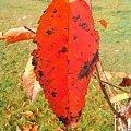 czerwony lisc na tle zieleni #liść #zółć #kolor #złoto #barwa #barwy #kolory #jesien #jesień #piękno #natura #przyroda #macro #PaletaBarw #tęcza #czerwień