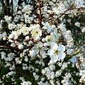 mirabelki II #wiśnia #kwiaty #kwiat #kwiatek #mirabelka #wiśnie #mirabelki #Wiosna2010 #wiosna