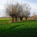 #pola #wierzby #natura