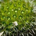 czapka ;) #kolce #kwiatek #zarodniki #ŻyweKolory #makro #blisko #przybliżenie #macro