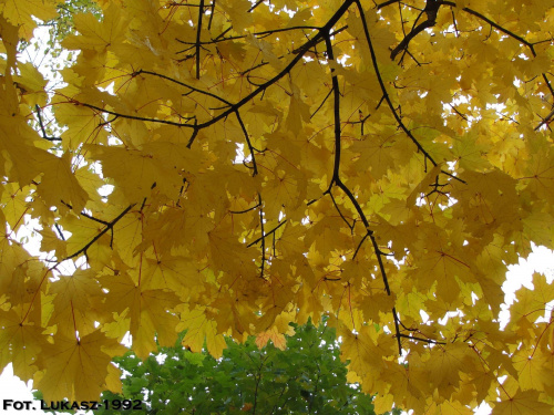 Jesień Racibórz 2010 - Park Roth #jesień #park #klon #Roth #Racibórz #raciborz #Śląsk #slask #kolorowa #liście