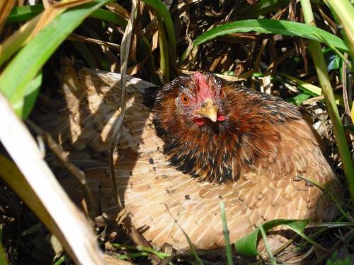 Kokoszka w ogrodzie:) #kura #dród #natura