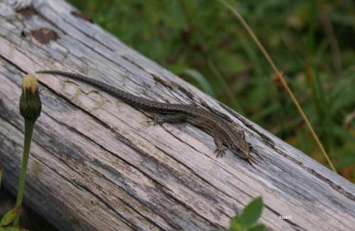 jaszczurka