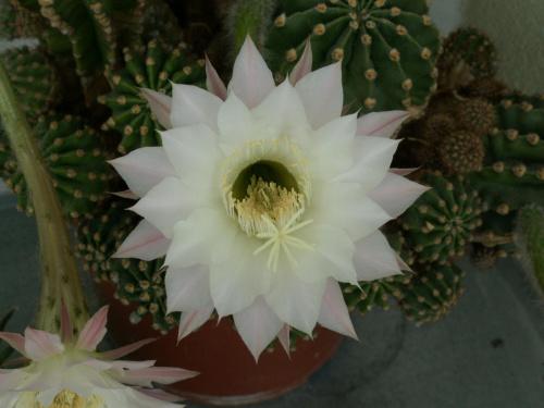 kwitnący kaktus #kaktus #kwiat