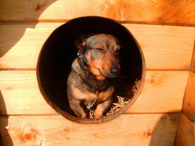 Zmęczony Piesek w Budzie #kundelek #mikus #kundel #zima #pies #dog #suka #suczka #młody #szczeniak #mróz #snieg #zaspy #miki #szaleństwo #uszy #nos #piesek #gryzon #luty #piesio #buda #ogon #łapy #zabawa