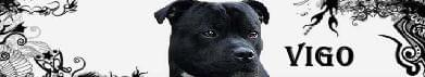 VIGO- Staffordshire Bull Terrier