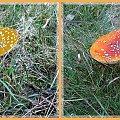 ...czy tak nie wygladaja bardziej obiecująco na przetrwanie po spożyciu? #collage #grzyby #jesień #inaczej #kolor #muchomory