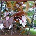 wiśnia japońska,piękny koloryt #wiosna #roślinki #wiśnia #kwitnienie