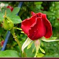 Moje róże,malowane różnie #róże #malowane #inaczej #przeróbki