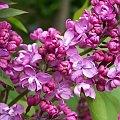 #bez #wiosna #kwiat #kwiaty