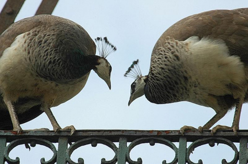 Wesole kumoszki z Lazienek #ptak #paw